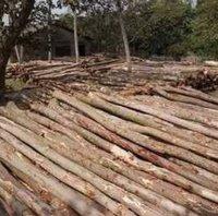Eucalyptus Log (Nilgiri, Thailam)