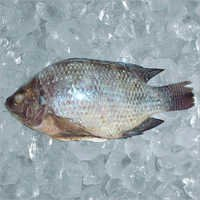 tilapia fish - Wholesalers, Suppliers of tilapia fish , India