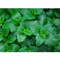 Pudina Leaf