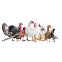Poultry consultancy services