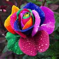 Exotic rose plants