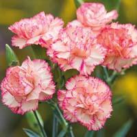 Carnation plant