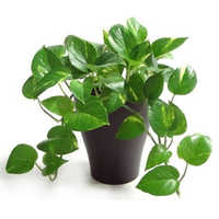 Indoor Plants In Ahmedabad Indoor Plants Dealers Traders In Ahmedabad Gujarat